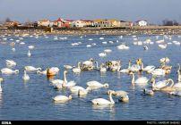 Migratory-Swans-in-Sorkhroud-Iran-1