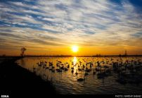 Migratory-Swans-in-Sorkhroud-Iran-8