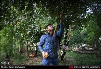 Gilan, Iran - Anbu, Pomegranate Harvest 2014 01