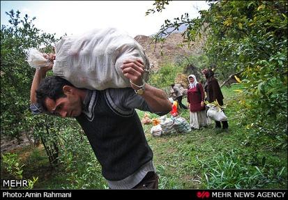Gilan, Iran - Anbu, Pomegranate Harvest 2014 08