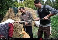 Gilan, Iran - Anbu, Pomegranate Harvest 2014 11