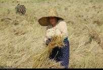Gilan, Iran - Rice Harvest 2014 01