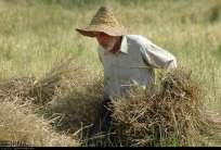Gilan, Iran - Rice Harvest 2014 02