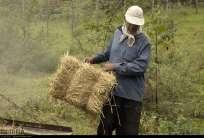 Gilan, Iran - Rice Harvest 2014 04
