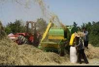 Gilan, Iran - Rice Harvest 2014 05