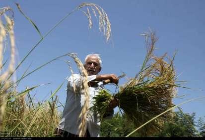 Gilan, Iran - Rice Harvest 2014 12