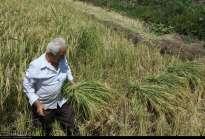 Gilan, Iran - Rice Harvest 2014 13