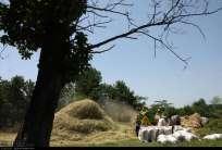 Gilan, Iran - Rice Harvest 2014 18