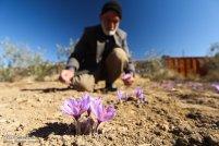 Iranian Saffron Farm 12