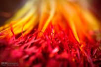 Iranian Saffron Farm 17