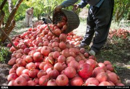 Kermanshah, Iran - Paveh, Pomegranate Harvest 2014 02