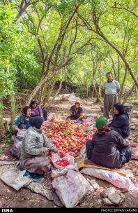 Kermanshah, Iran - Paveh, Pomegranate Harvest 2014 04