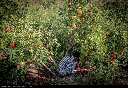 Kurdistan, Iran - Zhivar, Sarvabad, Pomegranate Harvest 2014 00