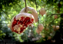 Kurdistan, Iran - Zhivar, Sarvabad, Pomegranate Harvest 2014 02