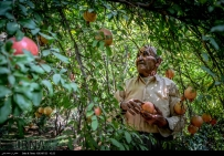 Kurdistan, Iran - Zhivar, Sarvabad, Pomegranate Harvest 2014 04