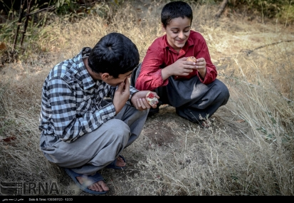 Kurdistan, Iran - Zhivar, Sarvabad, Pomegranate Harvest 2014 06