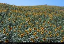 Golestan, Iran - Gorgan, Sunflower Farm 01