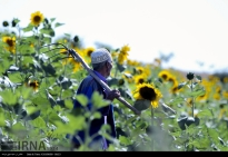 Golestan, Iran - Gorgan, Sunflower Farm 03
