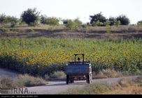 Golestan, Iran - Gorgan, Sunflower Farm 04