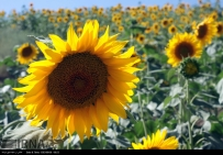 Golestan, Iran - Gorgan, Sunflower Farm 05