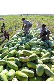 Hormozgan, Iran - Minab, Harvesting Watermelons for Yalda 00