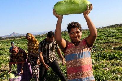 Hormozgan, Iran - Minab, Harvesting Watermelons for Yalda 01
