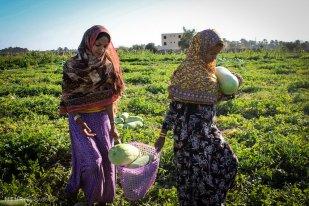 Hormozgan, Iran - Minab, Harvesting Watermelons for Yalda 02