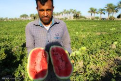 Hormozgan, Iran - Minab, Harvesting Watermelons for Yalda 04