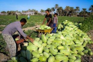 Hormozgan, Iran - Minab, Harvesting Watermelons for Yalda 06