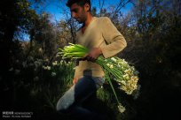Iran - Narcissus Harvest 2