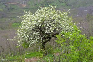Gilan and Mazandaran, Iran - Eshkevarat in Spring 13
