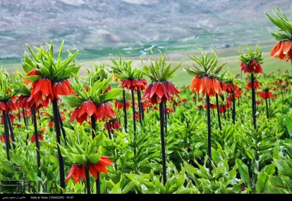Chaharmahal and Bakhtiari, Iran - Koohrang (Kuhrang) County - Inverted Tulips 3
