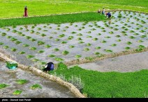 Rice fields in Yasuj - Kohgiluyeh and Boyer-Ahmad Province, Iran - (Photo credit: Davood Izad Panah for Tasnim News)