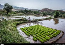 Rice fields in Alamut region - Qazvin Province, Iran - (Photo credit: Mehdi Motamed for ISNA)