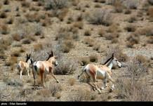 Iran's Fars Province Kamjan Shiraz Animals 006