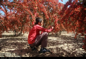 South Khorasan, Iran - Zereshk harvest in Birjand 04