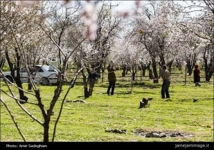 First spring signs in Shiraz - Fars Province, Iran - (Photo credit: Amir Sadeghian / Jamejam Online)